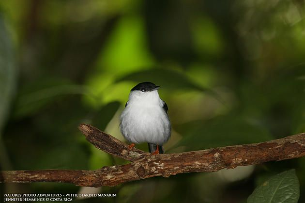 White Bearded Manakin. Costa Rica Natures Photo Adventures | Photographing Birds and Their Groovy Moves