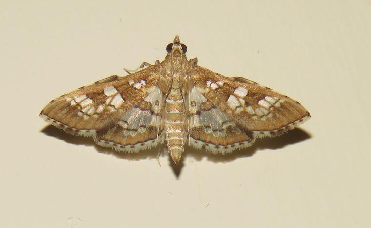 Moth Newcastle KZN RSA