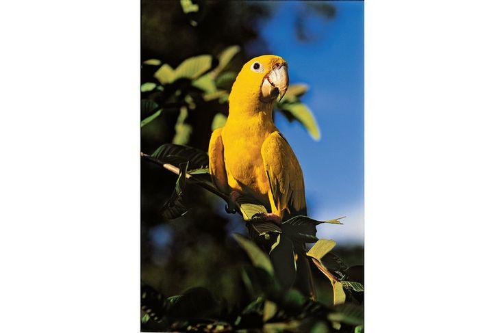 Ararajuba (Guaruba guarouba): habita a Amazônia.
