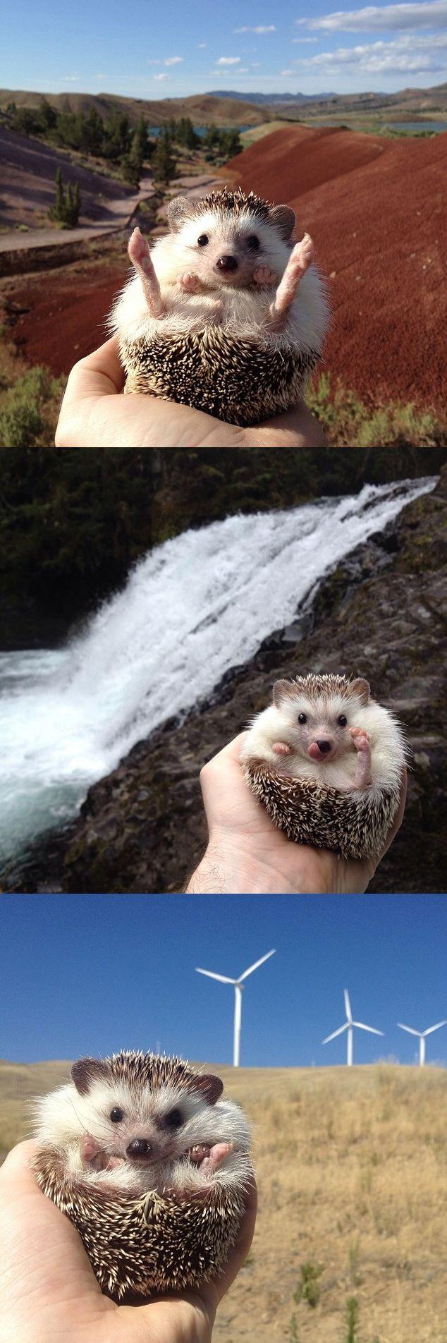 Biddy the traveling hedgehog is so cute we might die.