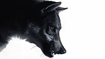 wolf snarling fangs animated gif