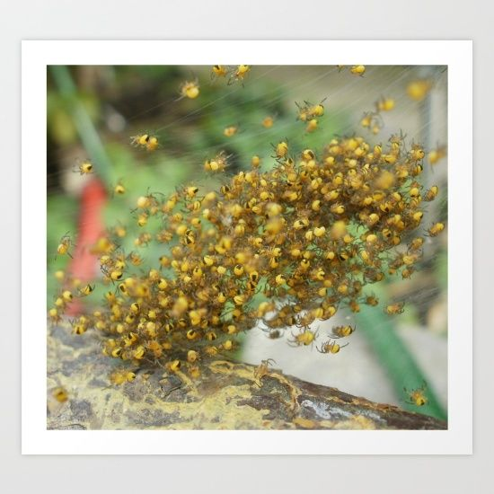 ...Yep what the title said... yellow spider babies... lots of them.