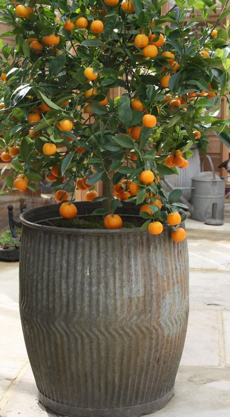 Citrus in vintage zinc barrel