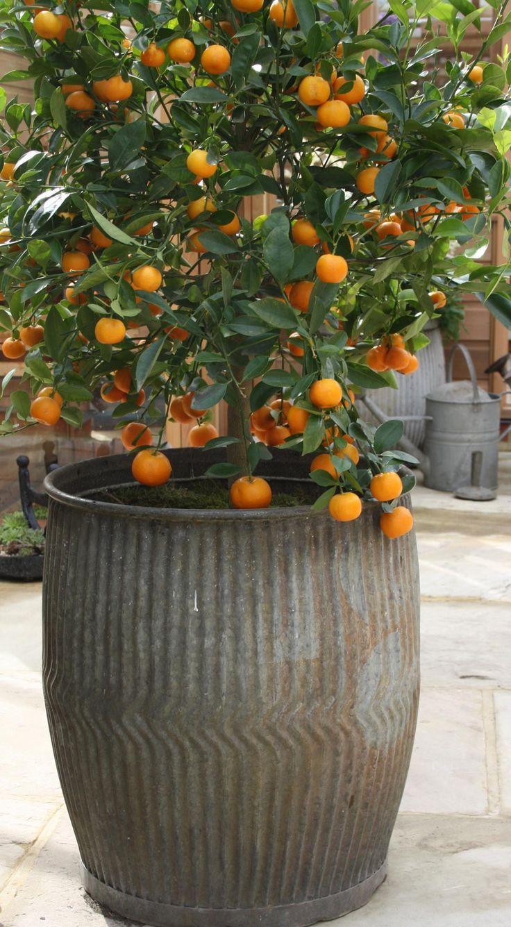 Citrus in vintage zinc barrel