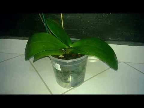 Como fertilizar una orquidea - YouTube