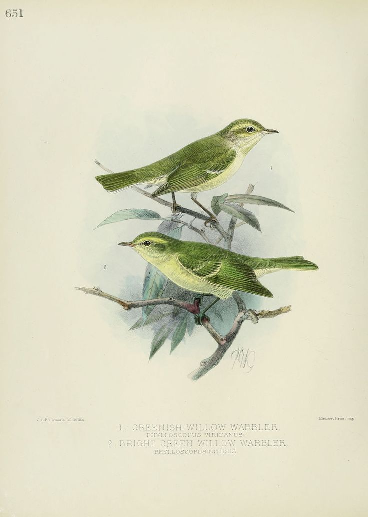 Gravures oiseaux Europe - bright green willow warbler - phylloscopus nitidus - Gravures, illustrations, dessins, images