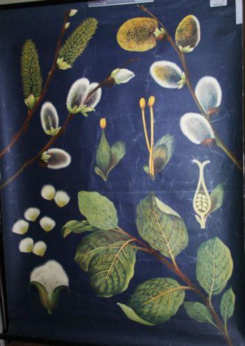 Antik-alte-Schulkarte-Schulwandkarte-Rollkarte-Lehrkarte-Salweide-Weidenkaetzchen