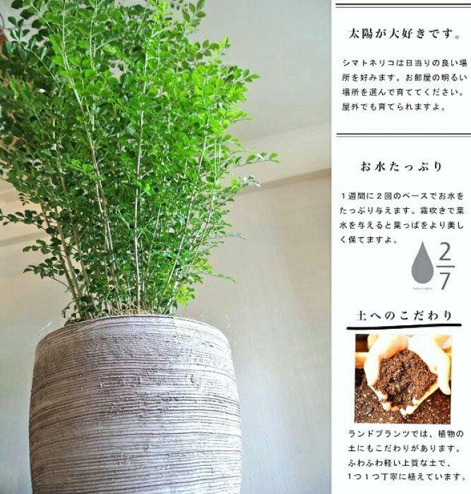 楽天市場 シマトネリコ デザインの良い テラコッタ 鉢植え 横縞