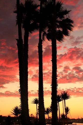 Palm trees at sunset, Marina del Rey