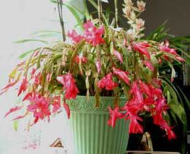 Schlumbergera truncata = Zygocactus truncatus