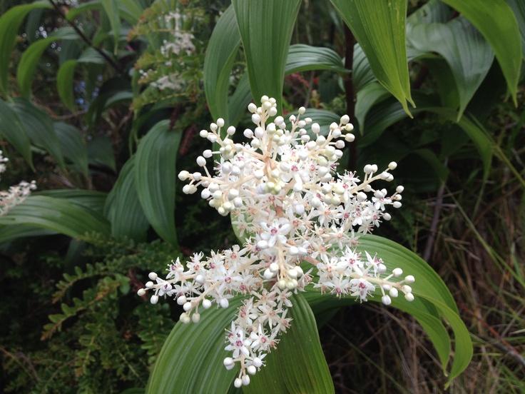 Flores del volcán Irazú
