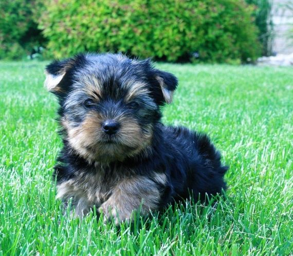 63 Teacup Dogs For Sale Near Me Cheap In 2020 Teacup Yorkie Puppy Dogs Dog Breeder