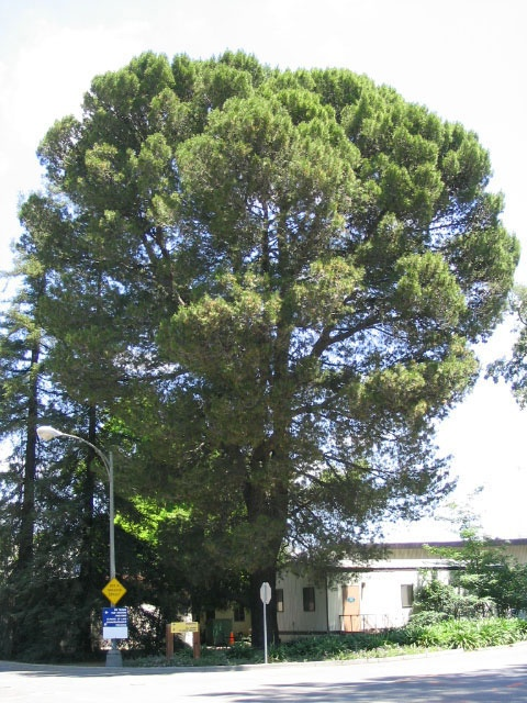 Mature aleppo pine trees