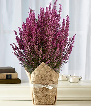 Mini flowering heather tree with burlap-covered vase.