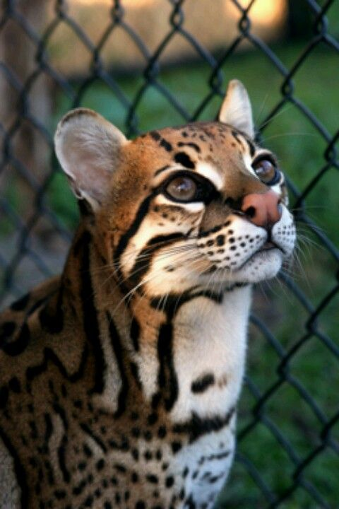 Ocelot: a collection of Animals and pets ideas to try ... - photo#40