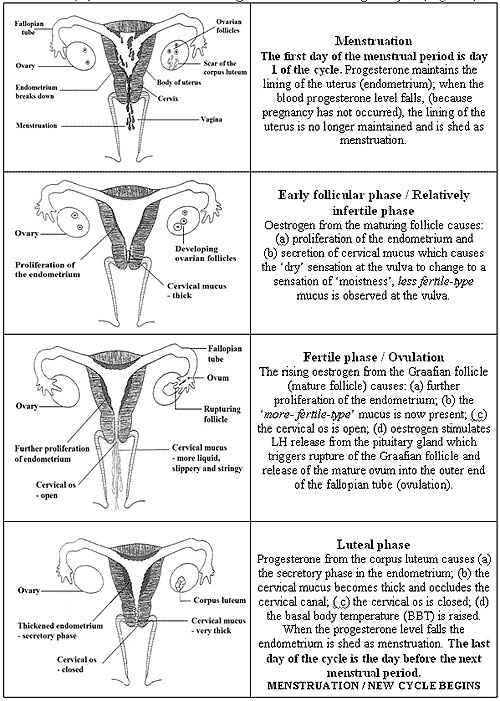 Menstrual cycle. For myself, Sophie and Christina.