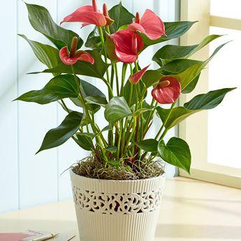 Flowering Anthurium        Google Image Result for http://naflowers.com/Flower%2520Collection/plants/anthurium%2520plant.jpg