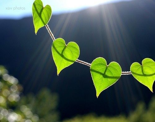 Heart vineValentine Day, Mornings Glories, Vines, Green, Heart Shape, Mothers Nature, Leaves, Heart Shapped, Nature Heart