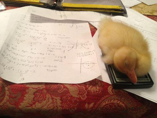 """""""So I can't do my math homework cause my duck fell asleep on my calculator"""""""