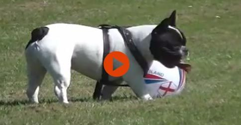 5 Reasons French Bulldogs Love Summer #FUnny,Cute#DOgs#Adorable#Animals