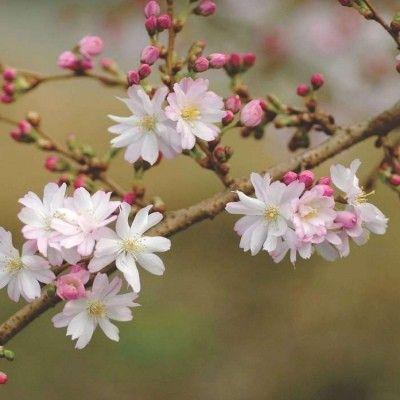 Un Cerisier Fleur pour l'automne Idéal quand la plupart des fleurs se fanent, leCerisier à Fleurs d'Automne se pare de belles fleurs en automne, au redoux hivernale et se poursuit jusqu'en avril. Les fleurs semi-doubles sont blanches avec des boutons floraux rosés. Elles s'ouvrent sur des branches nues, après la chute des feuilles. Le feuillage vert duCerisier à Fleurs d'Automne prend des teintes pourprées en automne.  Un sol bien drainé, frais et une exposition ensoleillée à mi-ombragée.