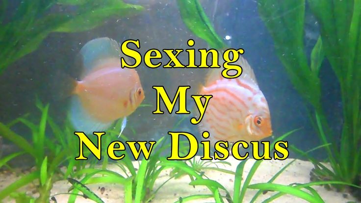 Tank Update: Sexing my new discus