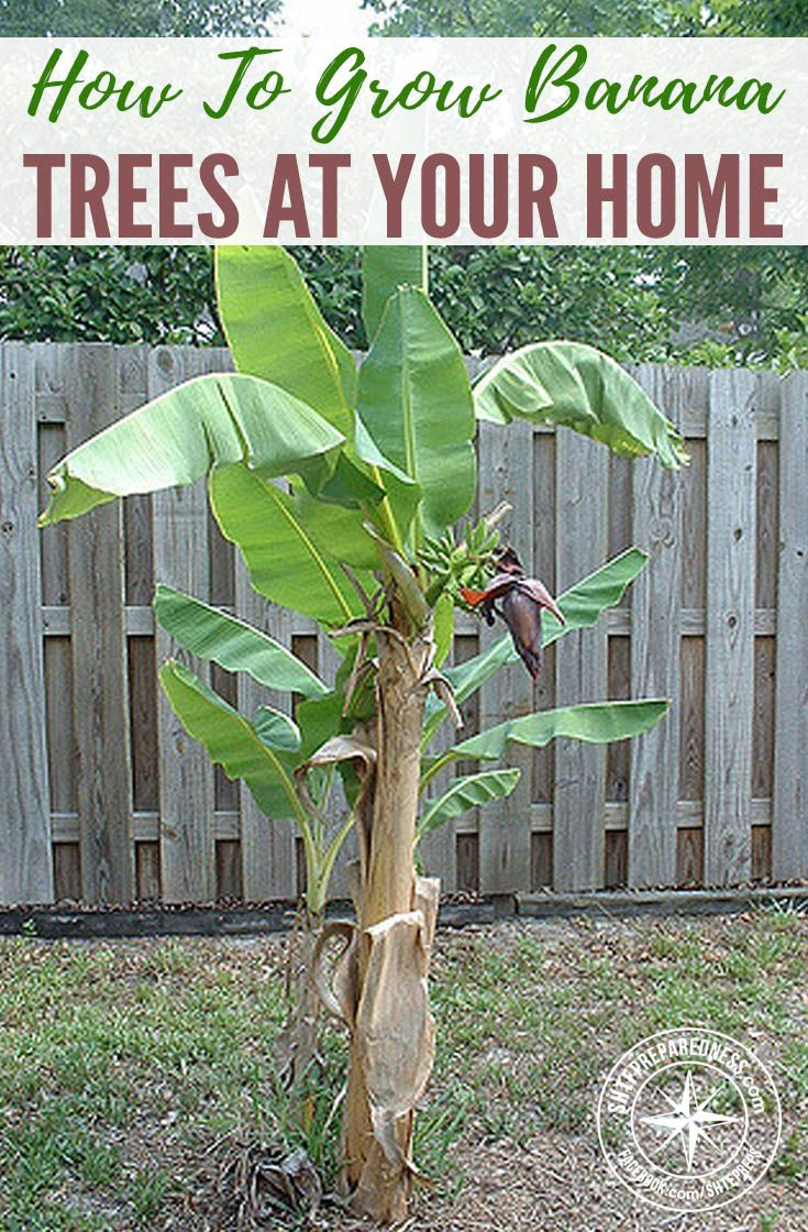 1000 Ideas About Banana Growing On Pinterest Patio Plants Tall