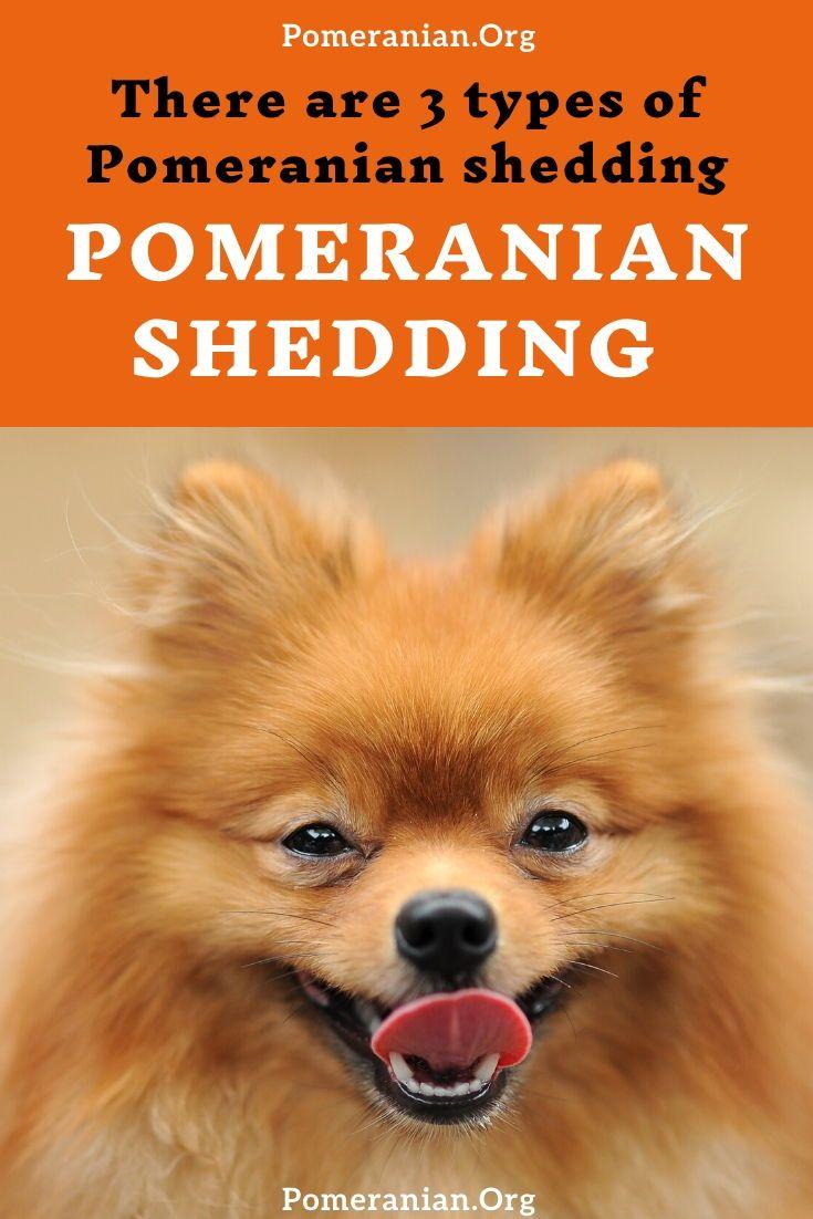 Do pomeranians shed in 2020 pomeranian dog pomeranian