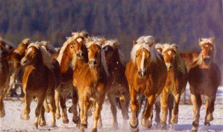 Haflinger kudde
