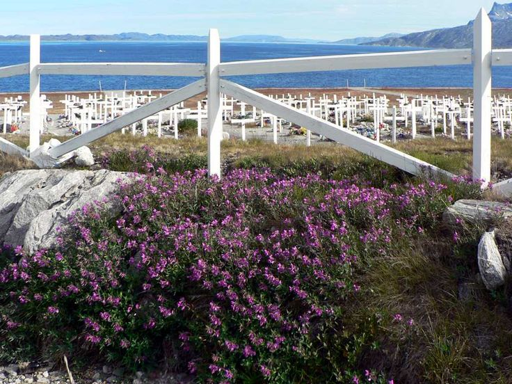 Fireweed grows along the edge of a coastal cemetery in Nuuk, Greenland.