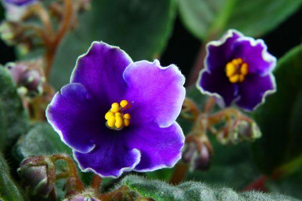 La belleza de la violeta africana y el hecho de que pueda florecer en cualquier época del año, hace que esta planta de interior sea muy apreciada. Veamos cómo cuidarla y algunos detalles de importancia.