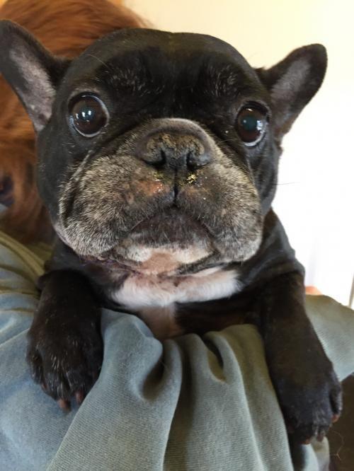 Meet Bella, an adoptable French Bulldog looking for a