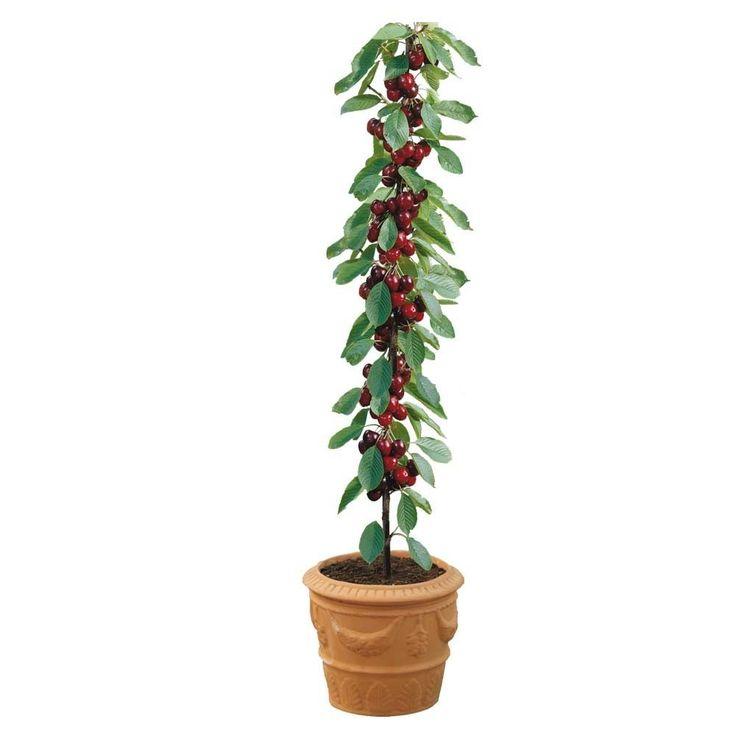 Cherry Tree Seeds ★ SYLVIA ★ Miniature Fruit Tree ★ PRUNUS ★ GMO FREE ★ 10 Seeds