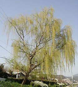 Weeping willow:Any of various willows with long slender drooping branches, especially the Chinese species Salix babylonica and its hybrids, widely cultivated as ornamentals.