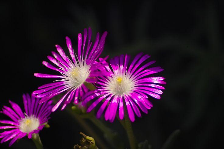 Mittagsblume / Trailing Iceplant, Pink Carpet (Delosperma cooperii) Bezugsquelle für Samen / Seed source: www.saatkontor.de