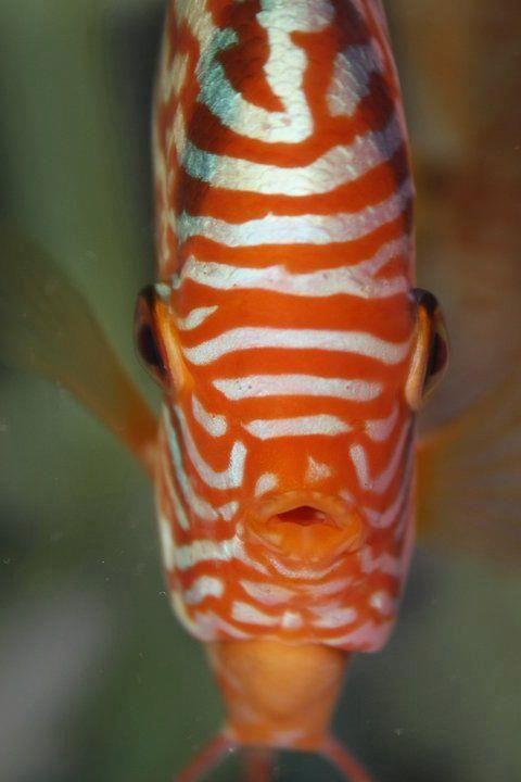 Discus: Acará Discus, Beautiful Fish, Aquariums, Aquarium Fish, Discus Smil, Mes Discus, Discus Aquarium, Aquarium King, Discus Fishid