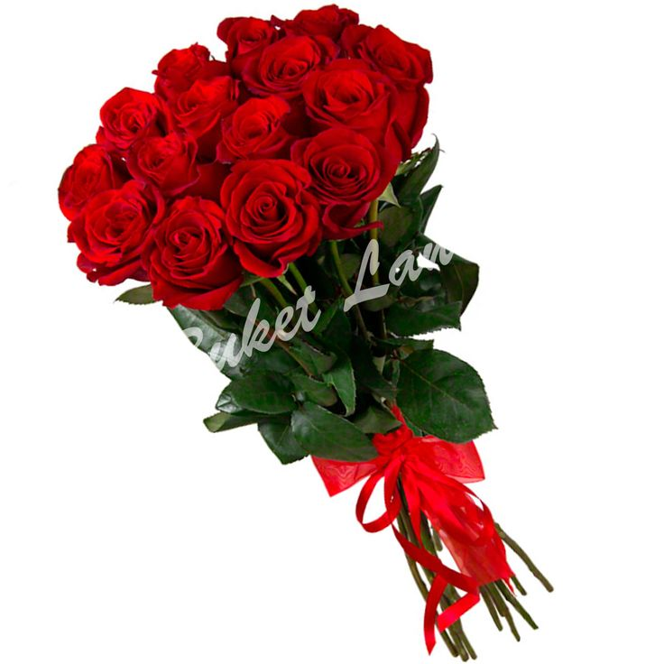 Красивые розы на прозрачном фоне английских фотографов