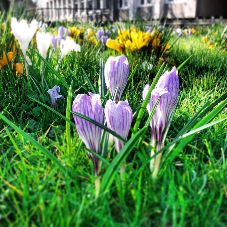 Purple spring crocus in the sunshine. RachelBirchley.com