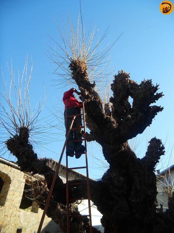 La pianta è famosa a Ponte, si dice che già nel Seicento fosse un albero centenario. La forma tipica è dovuta alle numerose capitozzature fatte in passato per la raccolta delle foglie da destinare all'alimentazione dei bachi da seta.