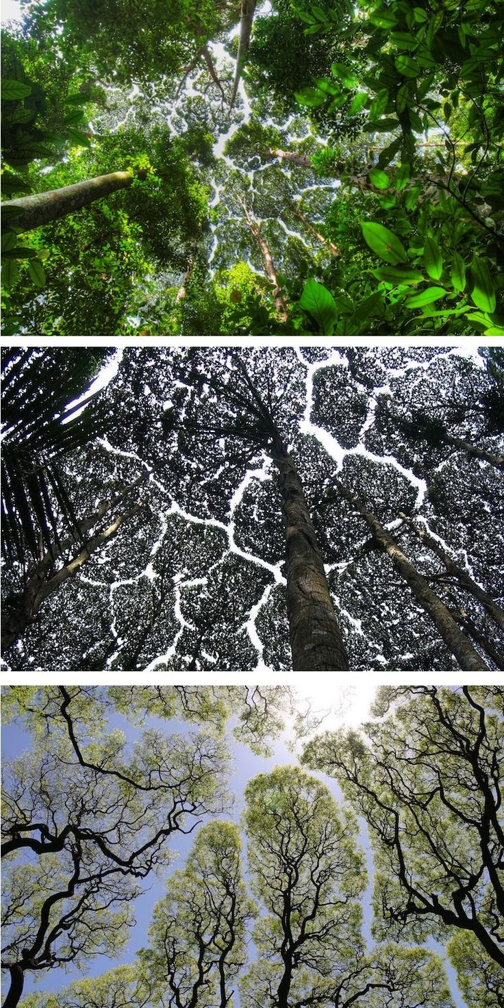 Crown shyness a naturally occurring phenomenon results in crack like gaps in the