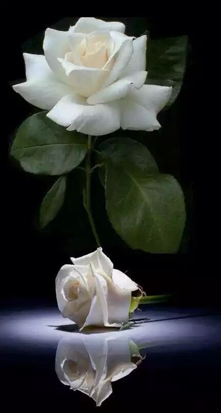 I don't really like white roses but this is gorgeous. JJ