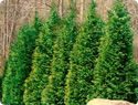 """Thuja Emerald Green - thuja occidentalis """"Emerald Green"""" for front side of house 3-4 feet wide, 8-12 feet tall"""