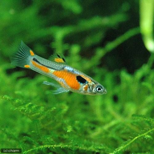 17 best images about john endler guppies on pinterest for Endler guppy