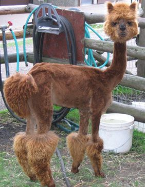 shavedllamas.com   using my time wisely