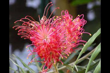 Grevillea  La Grevillea è un genere di circa 250 specie a portamento arboreo o arbustivo sempreverdi con bellissimi rami arcuati che rendono la chioma molto attraente. Pianta originaria dell'Australia e Nuova Zelanda, la Grevillea è poco resistente al gelo (massimo – 5° se ben lignificata) e vuole una posizione soleggiata. I suoi splendidi fiori sono raccolti in infiorescenze molto appariscenti e mellifere, per cui attirano uccelli ed insetti.