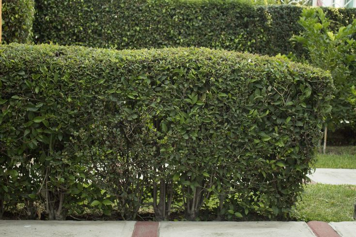 How to Plant a Boxwood Hedge (with Pictures)