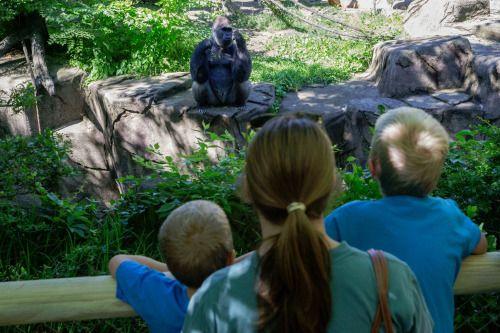 Reabren exhibición de gorilas en zoológico de Cincinnati -...