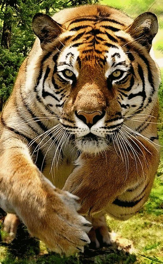 El tigre (Panthera tigris) Se sabe que en los pantanos de Sundarbans ubicados en Bangladés y el estado indio de Bengala, que es donde ocurren más incidentes, muchos tigres sanos y en perfectas condiciones han buscado atacar a seres humanos; esto en gran medida se debe a la enorme densidad demográfica humana en tales regiones, que provoca una superposición de los territorios de caza de los tigres y los territorios habitados por los humanos.