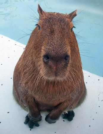 Capybaras: Don't know what it is but I want one.