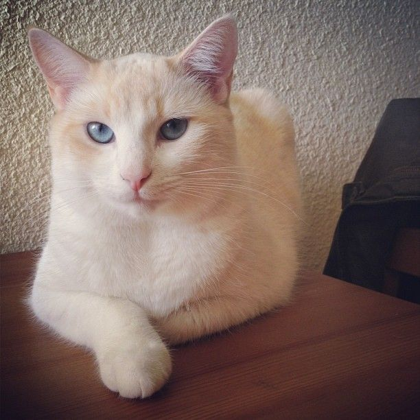 My kitty Ivy! #flamepointsiamese Flame Point Siamese Tap the link Now - Luxury Cat Gear - Treat Yourself and Your CAT! Stand Out in a… | Simease Cats | Pinte…